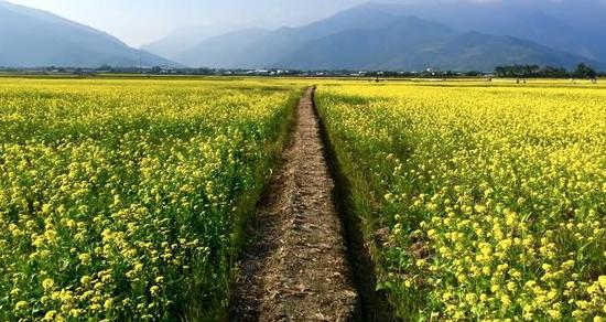 油菜花盛開拍出桌面美景 伯朗大道鋪上金黃花毯