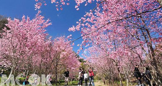 每年必搶賞櫻名額 最美武陵櫻花季交管時間