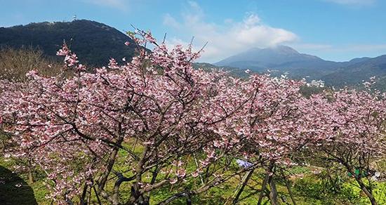 粉紅花海盛開!兩大賞櫻名所提早迎接櫻花季